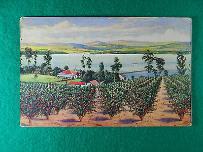 Early 1900's Postcard Advertising Fruit Growing ' In An Australian Orchard '