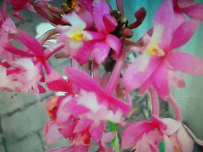 Epidendrum Crucifix Orchid Topaz Delight Pink Crystals