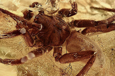 2 Large SPIDERS Araneae Gnat & Ant Inclusion BALTIC AMBER + HQ Picture 160910-1