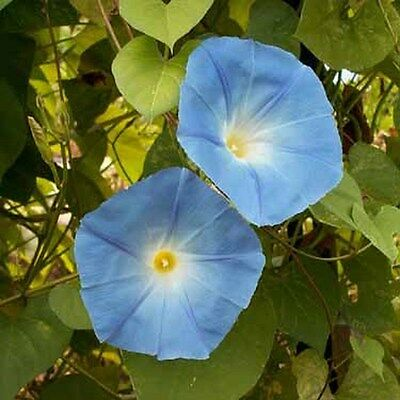 Morning Glory- Heavenly Blue- 100 Seeds - 50 % off sale