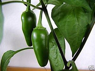 Pepper- Jalapeno- Hot Early- 100 Seeds - 50 % off sale