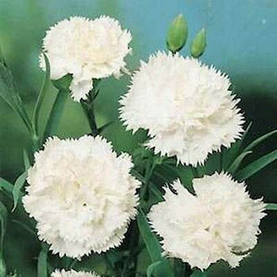 Carnation- White- 50 Seeds - 50 % off sale