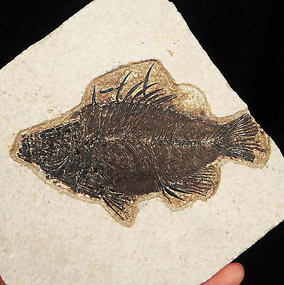 *PRISCACARA* Fossilised Fish Fossil from Green River Formation, Wyoming, USA