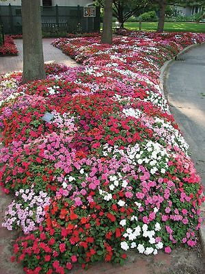 Impatiens Colour Parade Mix F2 Seed Annual Indoor Outdoor No Frost