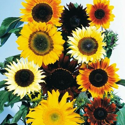 Sunflower Cutting Mixed Easy Hardy Annual Seed