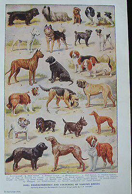 Double Sided Print c1920 Dogs Various Breeds