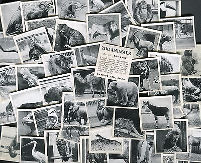 "Dryfood Confectionery 1955 Set Of 50 ""zoo Animals"" Trade Cards"