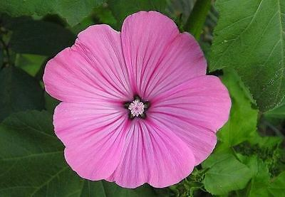 Lavatera Loveliness Seed Showy Border Annual