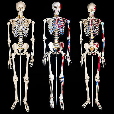 Human Skeleton Anatomy teaching model + tripod + man painting