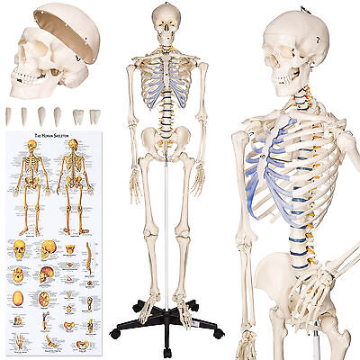Human skeleton anatomical model Life Size 181cm medical + poster + bonnet