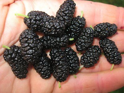 Mulberry tree 140cm tall - GRAFTED - 'Collier' Morus alba x Rubra