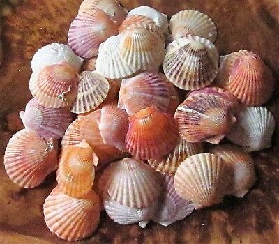"Scallop Shells 2"" Bulk Natural Sea Craft Ocean DIY Fish Beach Wedding Decoration"