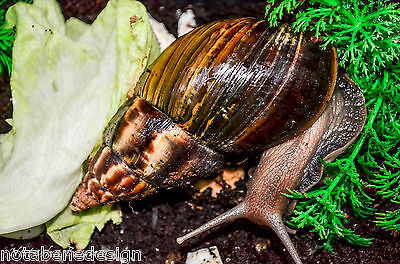 Giant African Snail - Achatina Fulica 1yo with tank, soil and decorations