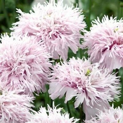 Papaver/Poppy 'Peony Lilac' / Double lilac flowers / 1000 seeds