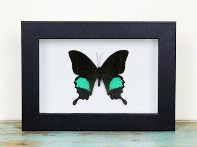 Papilio paris Butterfly in a Frame