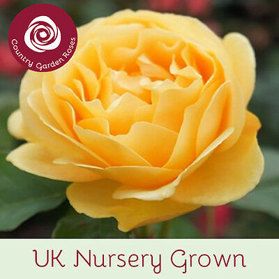 Absolutely Fabulous  Patio Garden Bush Rose, 7lt Potted, Yellow, Fragrant