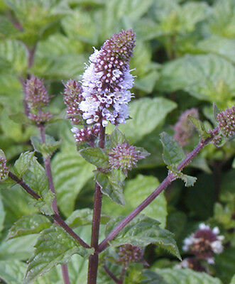 6 berries and cream mint plug plants *New Pack of perennial herbs *
