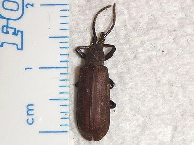 Chrysomelidae Anisodera species Malaysia #2834-5 Beetle Insect Bug