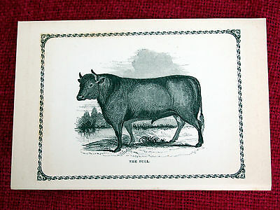 Antique Victorian Print Engraving Natural History 1840's The Bull
