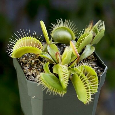 *UK SELLER* Giant Venus Fly Trap 10x Seeds - Dionaea Museipa *RARE* 3 for 2! A2