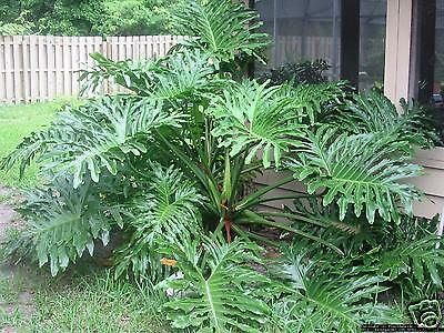 Tree Philodendron or Panda Plant Seed Indoor/Outdoor Thick-Stemmed Climber