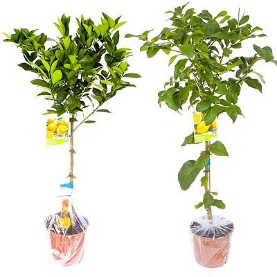 Pair of Large Citrus Trees in 6.5L Pots with Free Citrus Feed Lemon & Orange