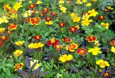 French Marigold Mixed Hybrids Annual Flower Seed