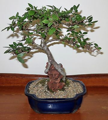 Chinese Elm Root over Rock Bonsai Tree