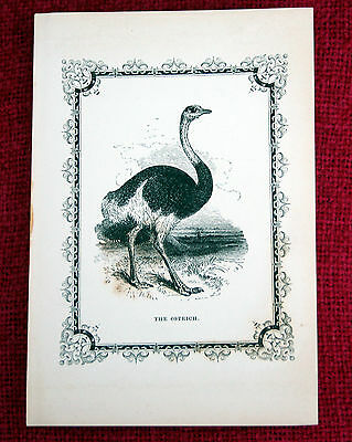 Antique Victorian Print Engraving Natural History 1840's The Ostrich