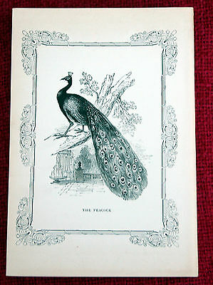 Antique Victorian Print Engraving Natural History 1840's The Peacock