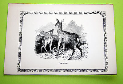 Antique Victorian Print Engraving Natural History 1840's The Hind