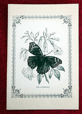 Antique Victorian Print Engraving Natural History 1840's The Butterfly