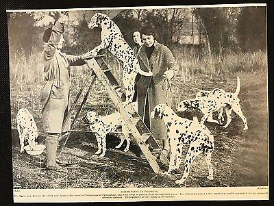 1934 Dog Print / Bookplate - DALMATIANS, Mrs Eggo training dogs on step ladder
