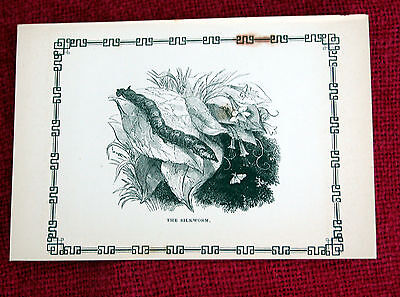 Antique Victorian Print Engraving Natural History 1840's The Silkworm