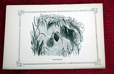 Antique Victorian Print Engraving Natural History 1840's The Spider
