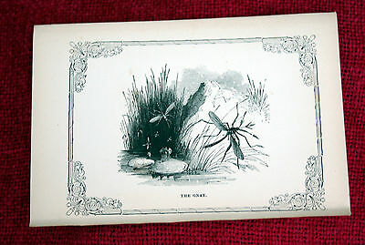 Antique Victorian Print Engraving Natural History 1840's The Gnat