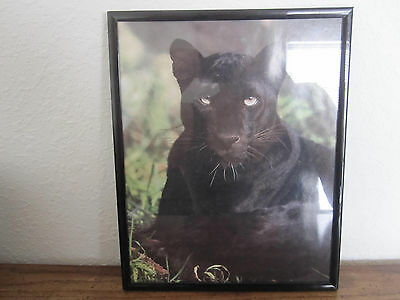 """Framed Black Panther Picture Photo Pose Relaxing in Grass ~ 10"""" x 8"""""""