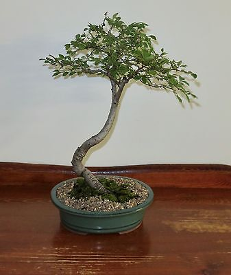 Silver Edge Chinese Elm Bonsai Tree