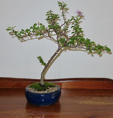 Lavender Star Bonsai Tree