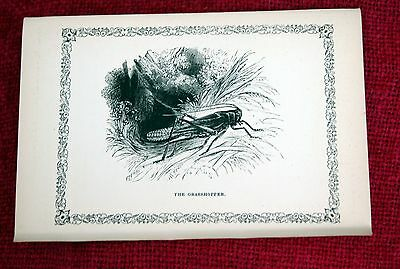 Antique Victorian Print Engraving Natural History 1840's The Grasshopper