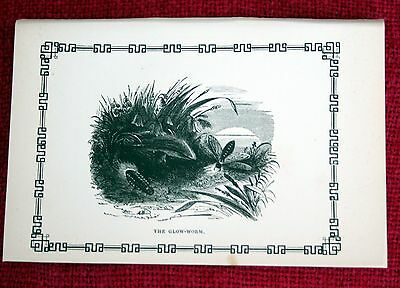 Antique Victorian Print Engraving Natural History 1840's The Glow-Worm