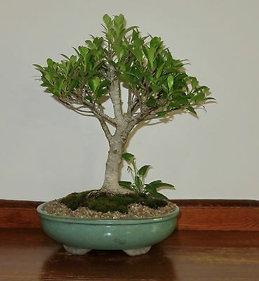 Tiger Fig Bonsai Tree