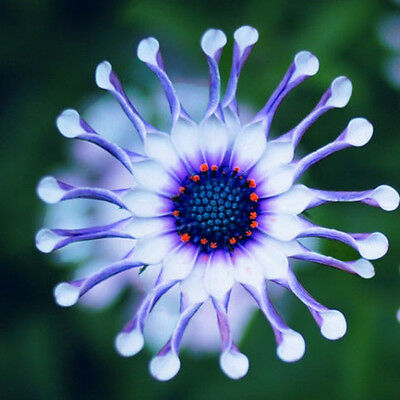 50psc New Rare Blue Daisy Plants Flower Seeds Exotic Ornamental Plants