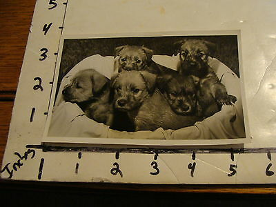 Vintage B & W photo: BASKET OF 5 SOFT COATED WHEATEN TERRIER PUPPIES