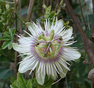 Passionflower newly harvested Passiflora Pierre Pomie 25 seeds. Combined ship'ng