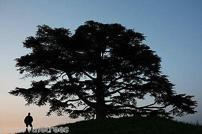 Cedrus libani / Cedar of Lebanon, beautiful large tree grown peat free in 3L pot