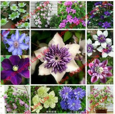 25 Clematis hybrid seeds choose your favourite variety (21 available)