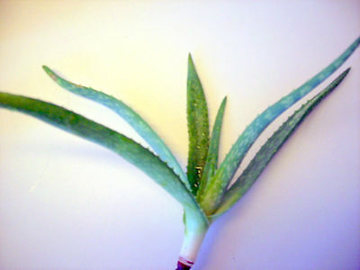 Aloe Vera Plant Seed Trees Organic Baby Plant Bare Root 3-4 Inches from our farm