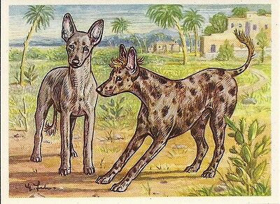 1952 Dog Art Print Austria Tobacco Card AFRICAN HAIRLESS TERRIER CHINESE CRESTED