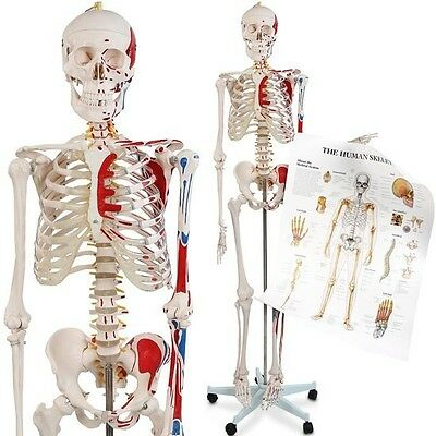 NEW Anatomy Life Size Human Skeleton Model Bone Muscles Class Poster Medical Aid